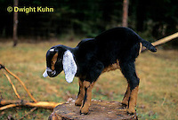 SH05-013z  Goat - Nubian, kid
