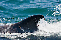"""Adult fin whale (Balaenoptera physalus) surfacing near Isla Carmen in the lower Gulf of California (Sea of Cortez), Mexico. This baleen whale is uniquely asymmetrical in its coloration; the right lower jaw is usually white in color whereas the left lower jaw is black. Also note the grey chevron pattern on the back of this animal, another defining color pattern. The fin whale believed to be the second largest animal to have ever lived on planet Earth. Within the Gulf of California there are almost 500 individual animals that do not migrate to higher lattitudes to feed in summer months, they are considered to be """"resident"""" to the Gulf of California. Note the parasitic copepods on the trailing edge of the dorsal fin, probably Penella spp."""