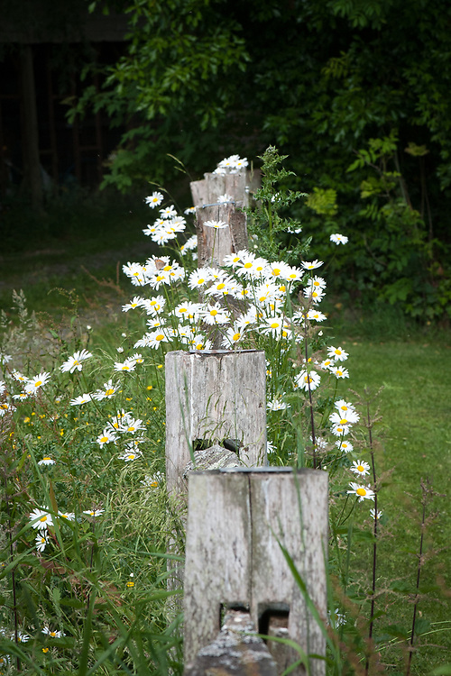 Ox-eye daisies (Leucanthemum vulgare) and a traditional chestnut post-and-rail fence, mid June.
