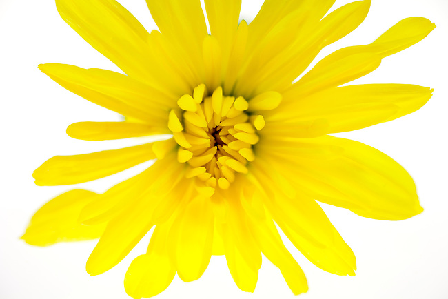 Close up of a yellow Spider Mum on a white background