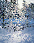 Mount Baker-Snoqualmie National Forest, WA <br /> Winter morning sun on frosted branches along the snow covered banks of the North Fork Nooksak River