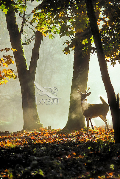 White-tailed deer (Odocoileus virginianus). Buck with autumn antlers. British Columbia. Canada..