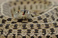 Rio Grande Leopard Frog (Rana berlandieri), adult, Fennessey Ranch, Refugio, Corpus Christi, Coastal Bend, Texas Coast, USA