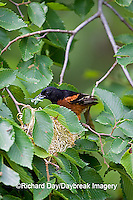 01618-011.07 Orchard Oriole (Icterus spurius) male with food at nest,  Marion Co. IL