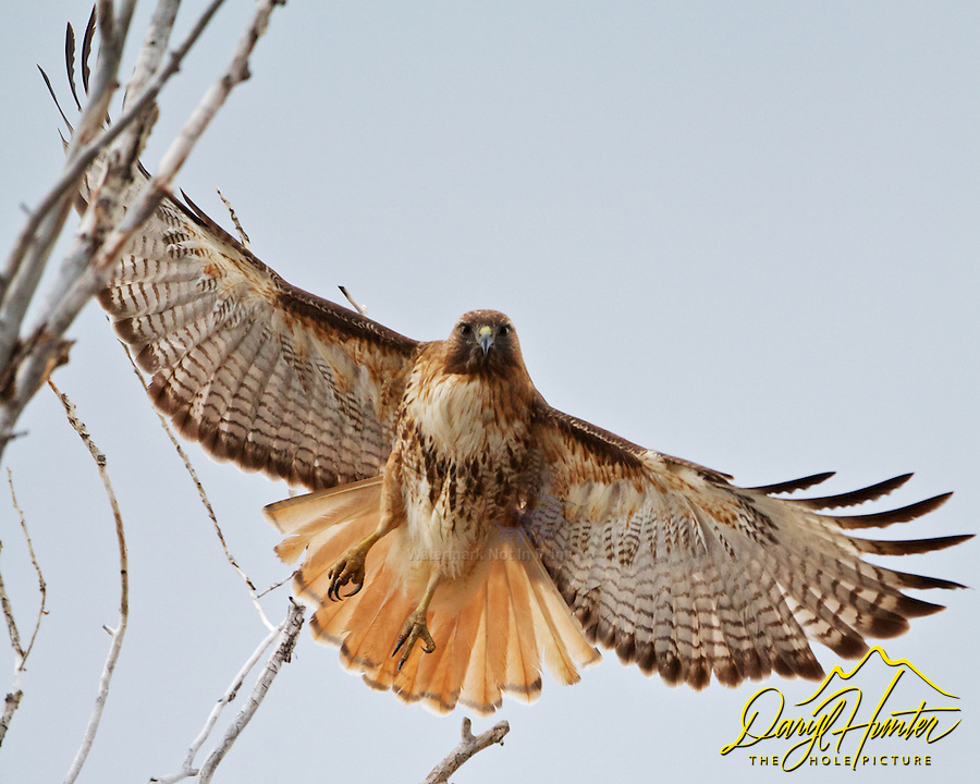 Redtail Hawk on the wing, Grand Tetons Park