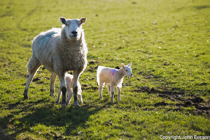 Ewe with two young lambs wearing plastic coats to protect agains the weather, Chipping, Lancashire.