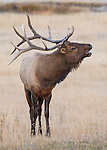 Elk, Yellowstone National Park, Wyoming, USA