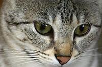 F2 Savannah Cat Close-up