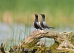 "Black Terns (Chlidonias niger), pair vocalizing during during courtship (""Erect Posture"" display), Montezuma National Wildlife Refuge, New York, USA"