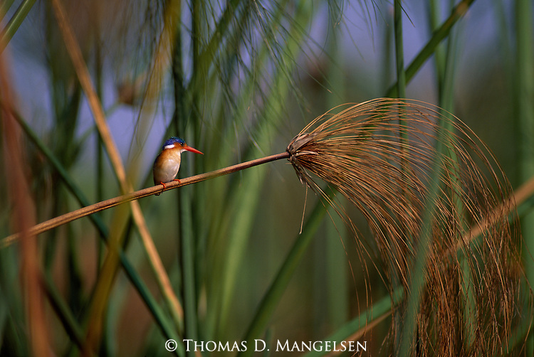 Malachite Kingfisher perched on papyrus in Botswana.