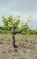 Vines. Chenin Blanc. Chateau des Vaults, Domaine du Closel, Savennieres, Loire, France