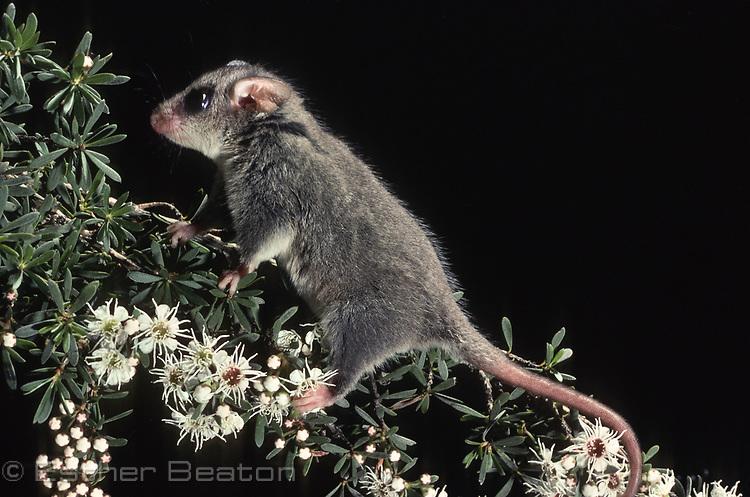 Eastern Pygmy Possum (Cercartetus nanus) Southeastern Australia