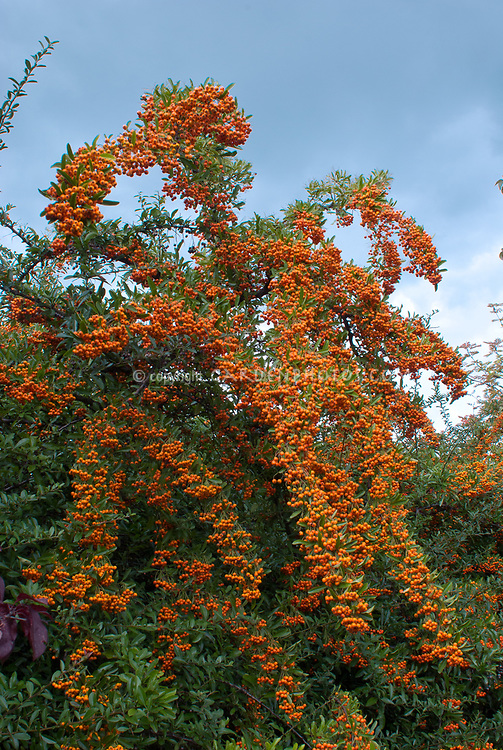 Pyracantha cv berries fruit in autumn fall winter, firethorn with orange berry color against blue sky and clouds