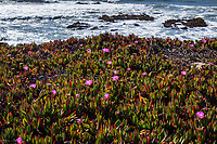 A carpet of thick green and red ice plant leaves with bright purple flowers on the bluff above incoming waves at Bean Hollow State Beach.