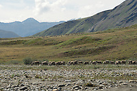 A herd of caribou spreads out along the banks of the Hulahula River, which runs through Alaska's Brooks Range and the Coastal Plain in the Arctic National Wildlife Refuge.