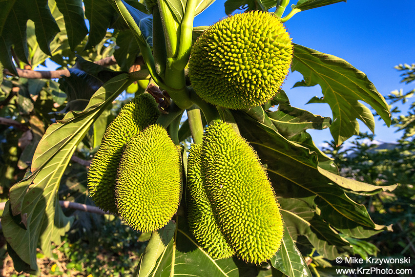 Hawaiian breadfruit (ulu), Oahu