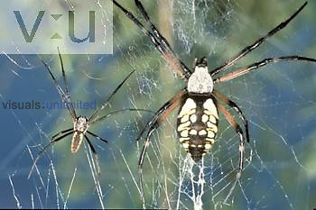 Male and female Black-and-Yellow Argiope Spiders ,Argiope aurantia,, USA.