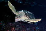Carreta carreta, Loggerhead sea turtle, Jupiter, Florida