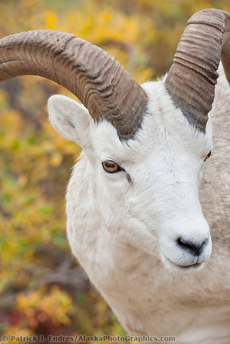 Dall sheep ram portrait near Polychrome pass in Denali National Park, Alaska.