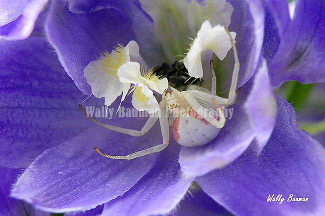 Goldenrod Crab Spider on a delphinium.
