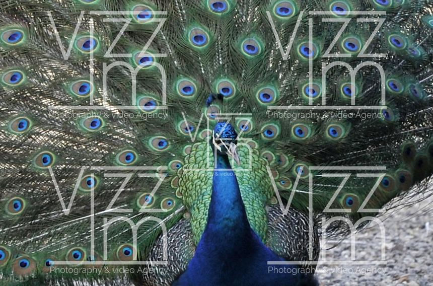 BOGOTA - COLOMBIA- 22-02-2015: El pavo real común (Pavo cristatus), también conocido como pavo real de la India y pavo real de pecho azul, es una especie  de ave  galliforme de la familia  Phasianidae , una de las dos especies del género  Pavo , que desde tiempos antiguos destacó entre los animales admirados por el hombre a causa del extraordinario abanico policromado que constituye la cola de los machos. / The common peacock (Pavo cristatus), also known as Peacock India and peacock blue breast, is a species of bird in the Phasianidae family galliformede, one of two species in the genus Pavo, which since ancient times out among the animals admired by men because of the extraordinary polychrome range that forms the rump of males. / Photo: VizzorImage / Luis Ramirez / Staff.