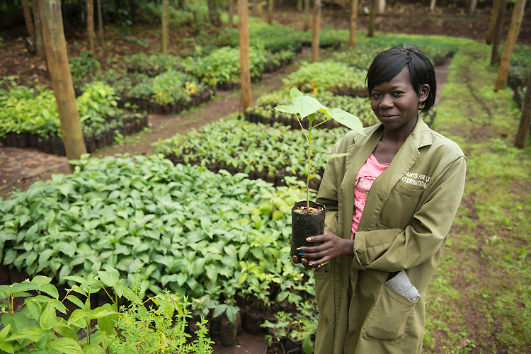 Lillian, a forest worker in Limaru, Kenya, holds plants in a nursery of native tree species including those that have never been propagated before. Forest workers remove invasive trees and plant species and replant a native forest in its place. Taken as part of a documentation of the Ecological Restoration Alliance, a group of botanic gardens restoring 100 damaged habitats on six continents, this story was shot in Kenya. Here thousands of acres of forest were removed in the early 1900's for the production of mono culture crops of tea and the eucalyptus used to dry it. In just 12 years the NGO Plants for Life has restored a eucalyptus plantation into a thriving forest with over 150 bird species, a wide range of mammals and hundreds of rare and endangered tree species. Brackenhurst, Near Limaru. Kenya.