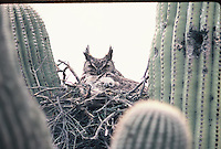 Great Horned Owl with young nested in a Saguaro Cactus in southern Arizona.