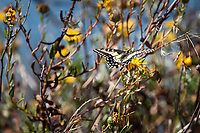A yellow and black-winged Anise Swallowtail butterly lands on the bright yellow flower of a Narrowleaf Pacific gumplant, along the shores of the Martin Luther King Jr. Regional Shoreline in Oakland, California.