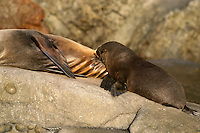 This young Guadalupe Fur Seal [Arctocephalus townsendi] is picutred nursing on it's mother off Guadalupe Island, Mexico.
