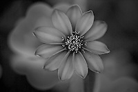 Macro shot of a flower with petals, and pollen in black and white.