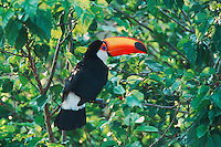 Toco Toucan (Ramphastos toco), adult in mango tree, Pantanal, Brazil, South America