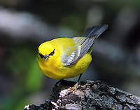 Male blue-winged warbler
