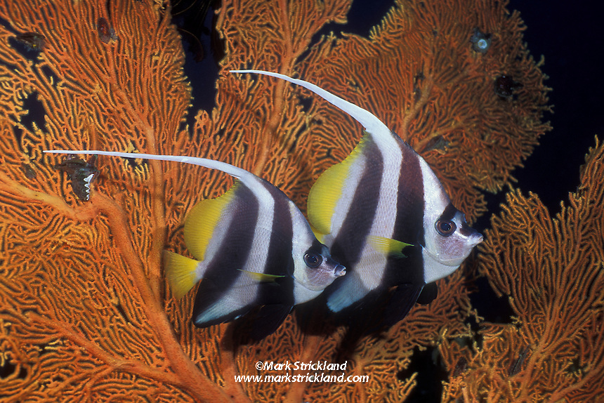 A pair of Longfin Bannerfish, Heniochus acuminatus, hover near a fan coral. Andaman Sea