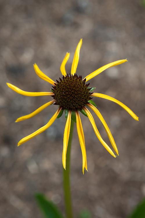 Echinacea paradoxa, mid June.