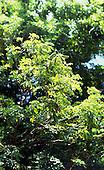 Brazil. Brazilwood, Pau Brasil, 'Caesalpinia echinata'.