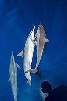 Spinner Dolphin, Stenella longirostris, Chichi-jima, Bonin Islands, Ogasawara Islands, Natural World Heritage Site, Tokyo, Japan, Pacific Ocean