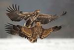 Polish Raptors