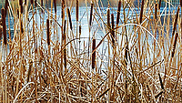Cattails along shoreline of small urban lake in Federal Way Washington.  Frozen lake in winter.
