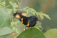 American Redstart, Setophaga ruticilla, male, South Padre Island, Texas, USA