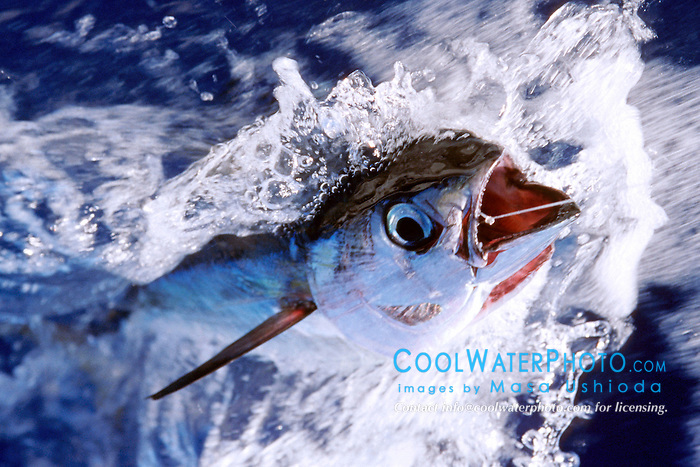 yellowfin tuna or `A-hi in Hawaiian, .Thunnus albacares, .Kona, Big Island, Hawaii (Pacific).