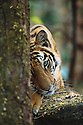 Bandhavgarh National Park, India,Tiger Cub Resting on Rock