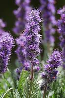 Silky Phacelia, Purple Fringe