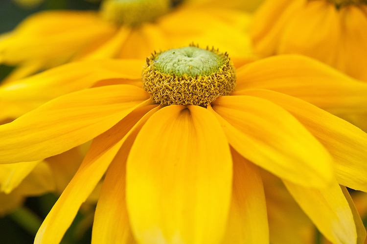 Rudbeckia hirta 'Prairie Sun', early July. A half-hardy annual.