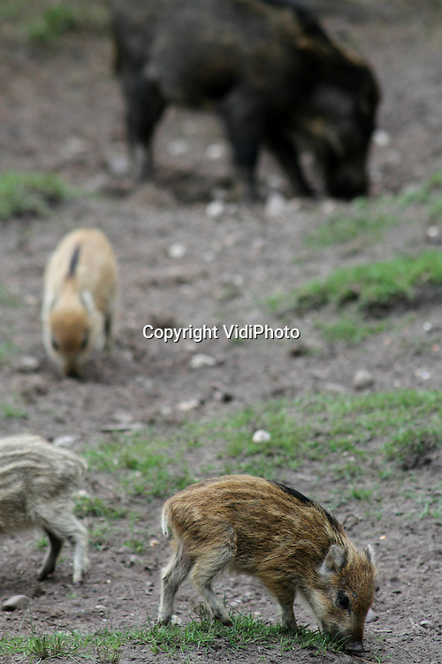 Foto: VidiPhoto..DE STEEG - Op de Zuidoost-Veluwe zijn meer wilde jonge zwijnen geboren dan op andere plaatsen op de Veluwe. Dat is de voorzichtige conclusie van de eerste zwijnentellingen die op dit moment op diverse plaatsen in Nederland worden uitgevoerd door landgoedeigenaren en natuurbeheerders. De tellingen zijn nodig om de zwijnenstand te bepalen. Afhankelijk van de draagkracht van een gebied (waaronder de hoeveelheid voedsel) wordt dan bepaald hoeveel wilde zwijnen er dit jaar moeten worden afgeschoten. Hoe hoger de wildstand, des te groter de schade bij boeren en aan sportvelden en hoe meer ongevallen.
