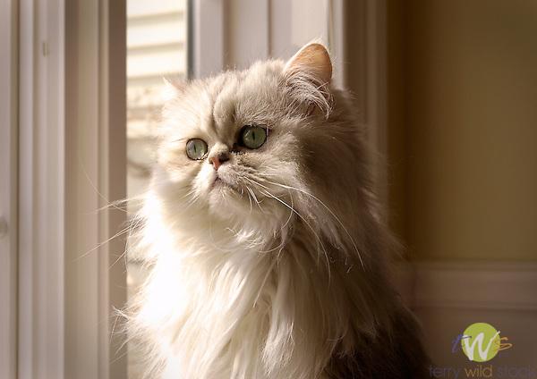 Lincoln, White Persian cat