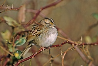 White-throated Sparrow.  Cape May, New Jersey