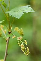 Aalbes (Ribes petraeum)