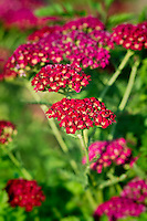 Red velvet Yarrow