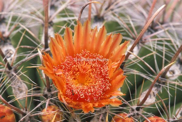 Fishhook Barrel Cactus, Ferocactus wislizeni, in bloom