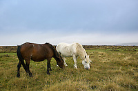 Two ponies grazing on the moor, Dartmoor, Devon,  United Kingdom